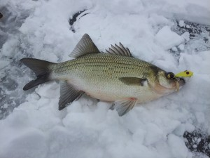 Lake Wisconsin White Bass